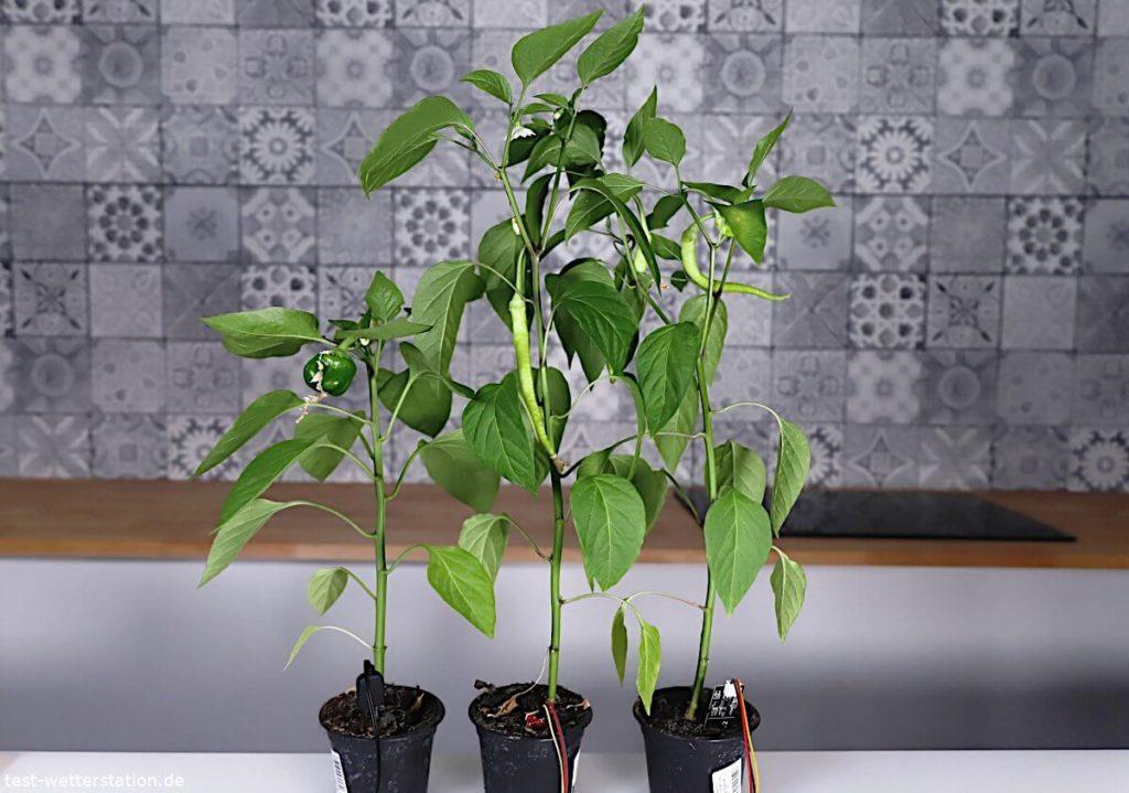 Pflanzen nach 6 Wochen Test